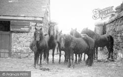 Princetown, Dartmoor Ponies c.1890