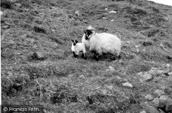 Raasay, Sheep And Lamb 1962