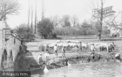 Sheep Dipping In The River Thames c.1880, Radcot