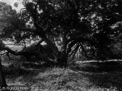 Old Tree At The Castle 1931, Restormel