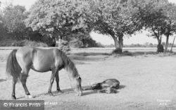 Ringwood, Ponies Near Picket Post c.1950