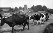 Rothley, Milking Time c1955