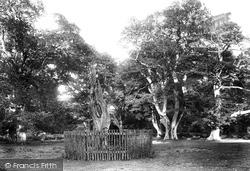 Savernake, Forest, King Oak 1901