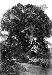 Savernake, Forest, The Braydon Oak 1906