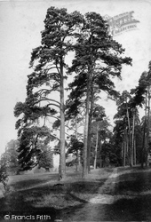 Shalford, Firs In Shalford Park 1909