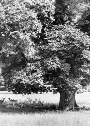 Hackwood Park, Deer 1904, Shapwick