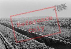 Turfing In Somerset 1904, Shapwick