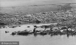 Shetland, Seals c.1960, Shetland Islands