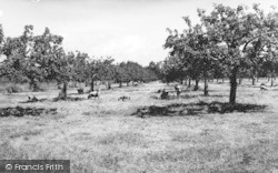 Apple Orchards c.1965, Sittingbourne