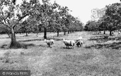 Sittingbourne, Apple Orchards c.1965