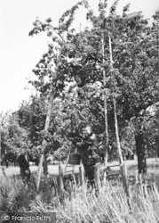 Cherry Picking c.1965, Sittingbourne