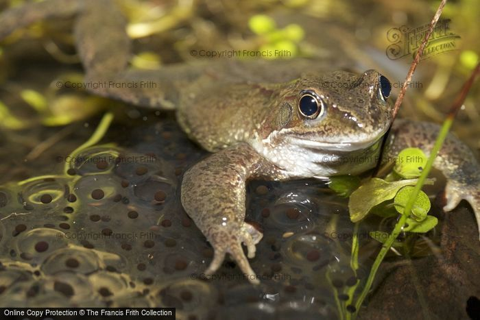 Photo of A Frog And Frogspawn