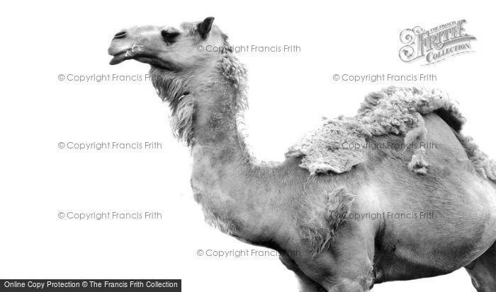 Photo of An Arabian Camel c.1965