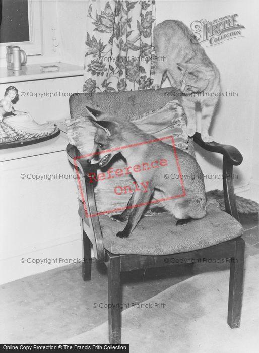 Photo of Sally The Tame Fox c.1935
