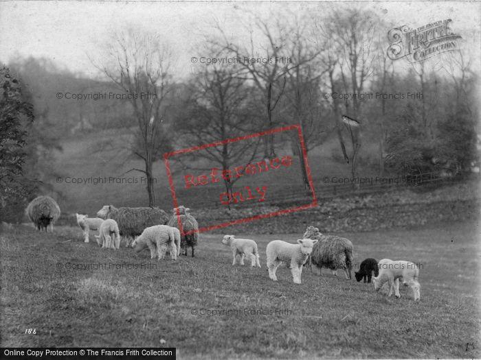 Photo of Study Of Sheep c.1900