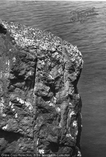 Photo of St Abbs, Head, Sea Birds Nesting c.1935