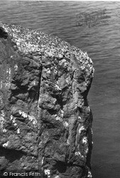 St Abbs, Head, Sea Birds Nesting c.1935