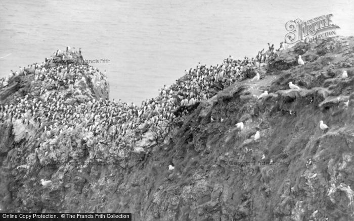 Photo of St Abbs, Sea Birds Nesting c.1935