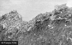 St Abbs, Sea Birds Nesting c.1935