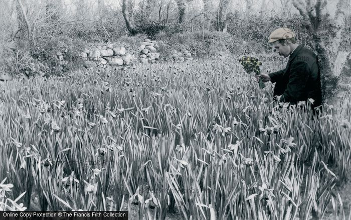 Photo of St Mary's, Flower Farming, Daffodils c.1891