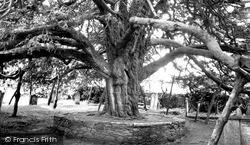 Stoke Gabriel, The Yew Tree c.1960