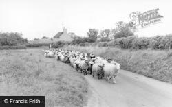 Sheep In East Street c.1955, Swinton
