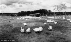 Tarvin, Hockenhull Turkey Farm c.1955