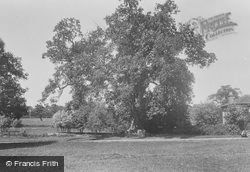 Kings Oak, About 1,000 Years Old 1936, Tilford