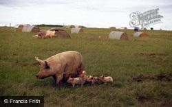 Sow And Piglets, Lawn Farm 1997, Tisbury