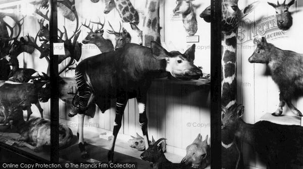 Photo of Tring, Museum, The Very Rare Okapi c.1955