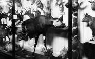 Tring, Museum, the very rare Okapi c1955