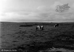 Shetland Ponies 1954, Unst