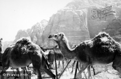 Desert Patrol Camels 1965, Wadi Rum
