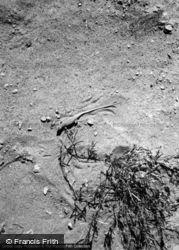 Lizard 1965, Wadi Rum
