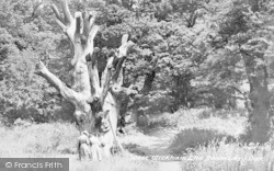 The Doomsday Oak c.1955, West Wickham