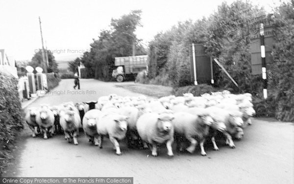 Photo of Wheddon Cross, Flock Of Sheep In The Village c.1965