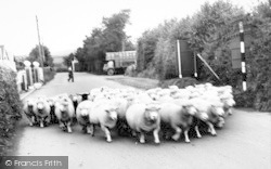 Flock Of Sheep In The Village c.1965, Wheddon Cross