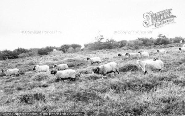 Photo of Wheddon Cross, Sheep On Dunkery Moor c.1965