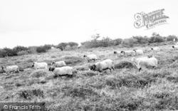 Sheep On Dunkery Moor c.1965, Wheddon Cross
