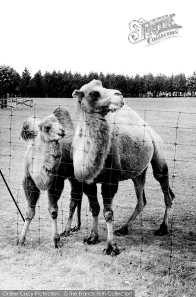 Photo of Whipsnade, Zoo, Bactrian Camels c.1960