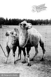 Whipsnade, Zoo, Bactrian Camels c.1960