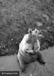 Zoo, Bear c.1950, Whipsnade