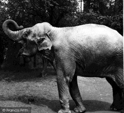 Whipsnade, Zoo, Elephant  c.1955