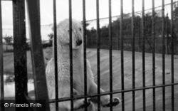 Zoo, Polar Bear c.1950, Whipsnade