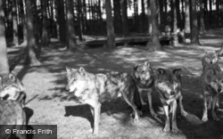 Zoo, Wolves c.1950, Whipsnade