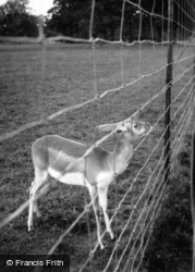 Zoo, Young Antelope c.1950, Whipsnade