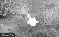 Swan At The Castle c.1952, Whittington