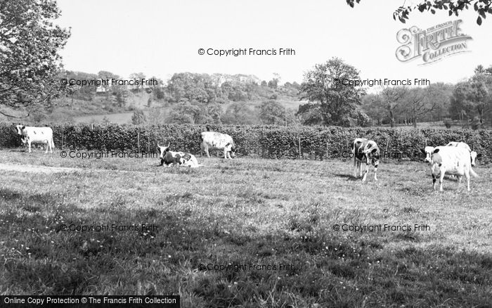 Photo of Witley, Cows At Enton Hall c.1960