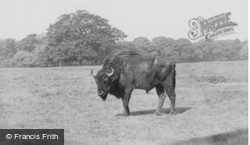 A Bison c.1960, Woburn Abbey