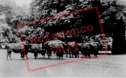 Bison c.1950, Woburn Abbey
